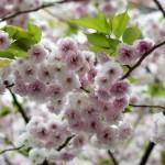 BDV fiori